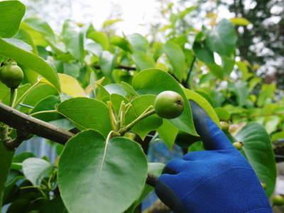 熊本梨 岩永農園 8月上旬からの出荷に向け、今年も順調に成長中!2次摘果終了後の様子_a0254656_17572138.jpg
