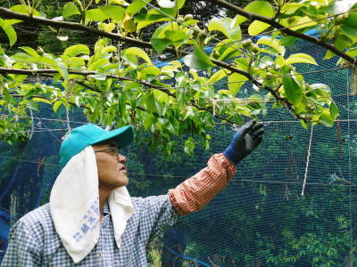 熊本梨 岩永農園 8月上旬からの出荷に向け、今年も順調に成長中!2次摘果終了後の様子_a0254656_17595463.jpg