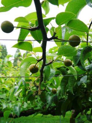 熊本梨 岩永農園 8月上旬からの出荷に向け、今年も順調に成長中!2次摘果終了後の様子_a0254656_18032897.jpg