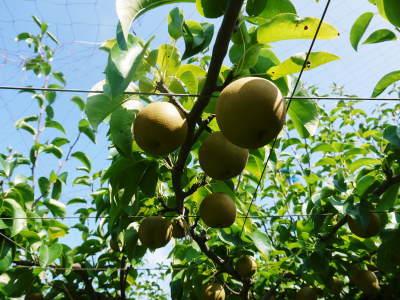 熊本梨 岩永農園 8月上旬からの出荷に向け、今年も順調に成長中!2次摘果終了後の様子_a0254656_18171813.jpg