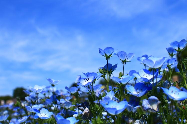 青色 ネモフィラ 鶴見緑地_f0209122_19262827.jpg
