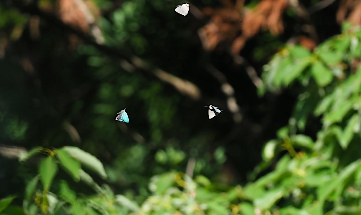 オオミドリシジミ三昧の日・その3 卍巴飛翔編(2018年6月7日)_d0303129_4265945.jpg