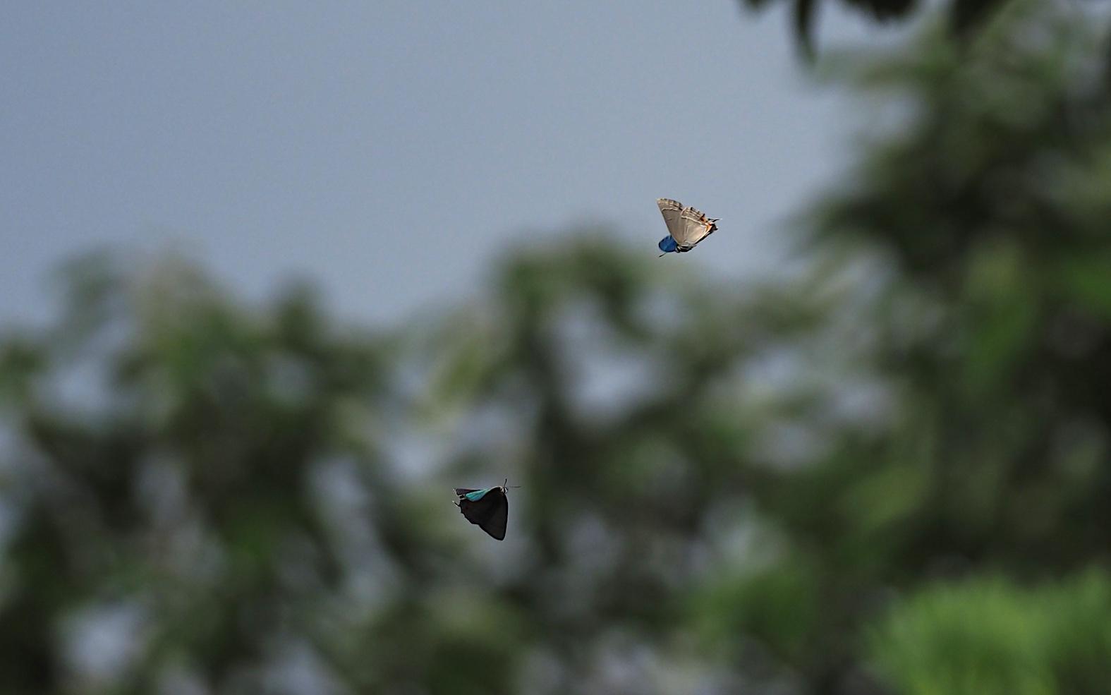 オオミドリシジミ三昧の日・その3 卍巴飛翔編(2018年6月7日)_d0303129_4271569.jpg