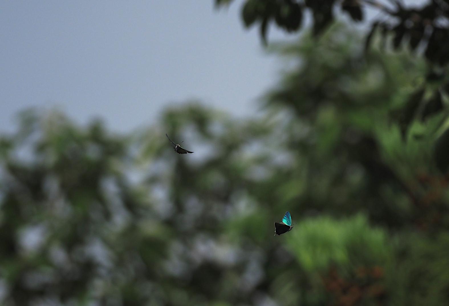 オオミドリシジミ三昧の日・その3 卍巴飛翔編(2018年6月7日)_d0303129_4272250.jpg