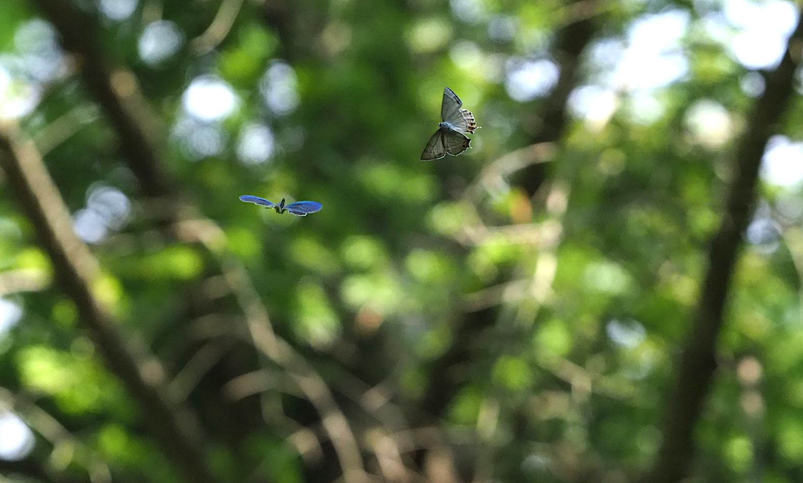 オオミドリシジミ三昧の日・その3 卍巴飛翔編(2018年6月7日)_d0303129_4273867.jpg