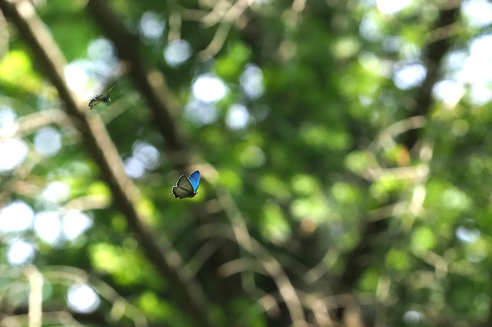 オオミドリシジミ三昧の日・その3 卍巴飛翔編(2018年6月7日)_d0303129_4274530.jpg