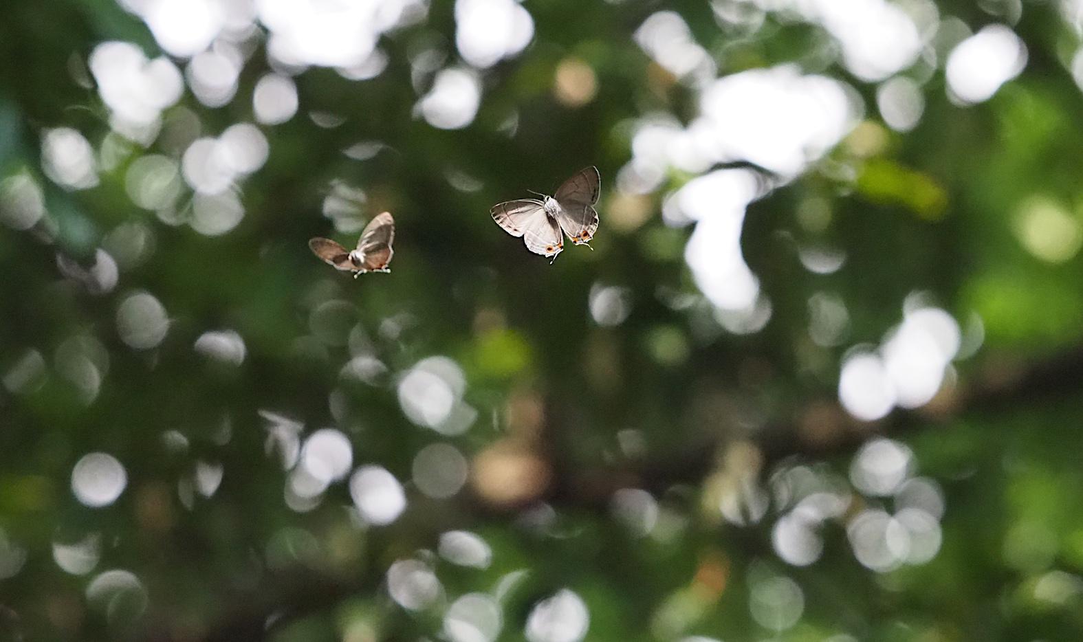 オオミドリシジミ三昧の日・その3 卍巴飛翔編(2018年6月7日)_d0303129_4282391.jpg