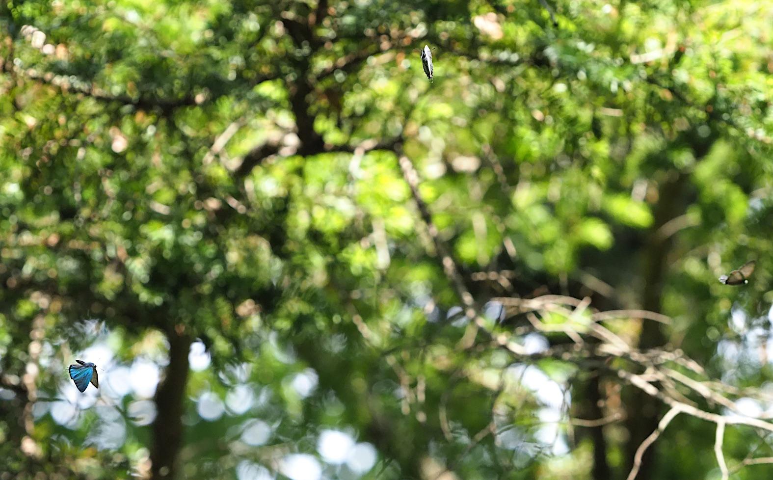 オオミドリシジミ三昧の日・その3 卍巴飛翔編(2018年6月7日)_d0303129_4283084.jpg