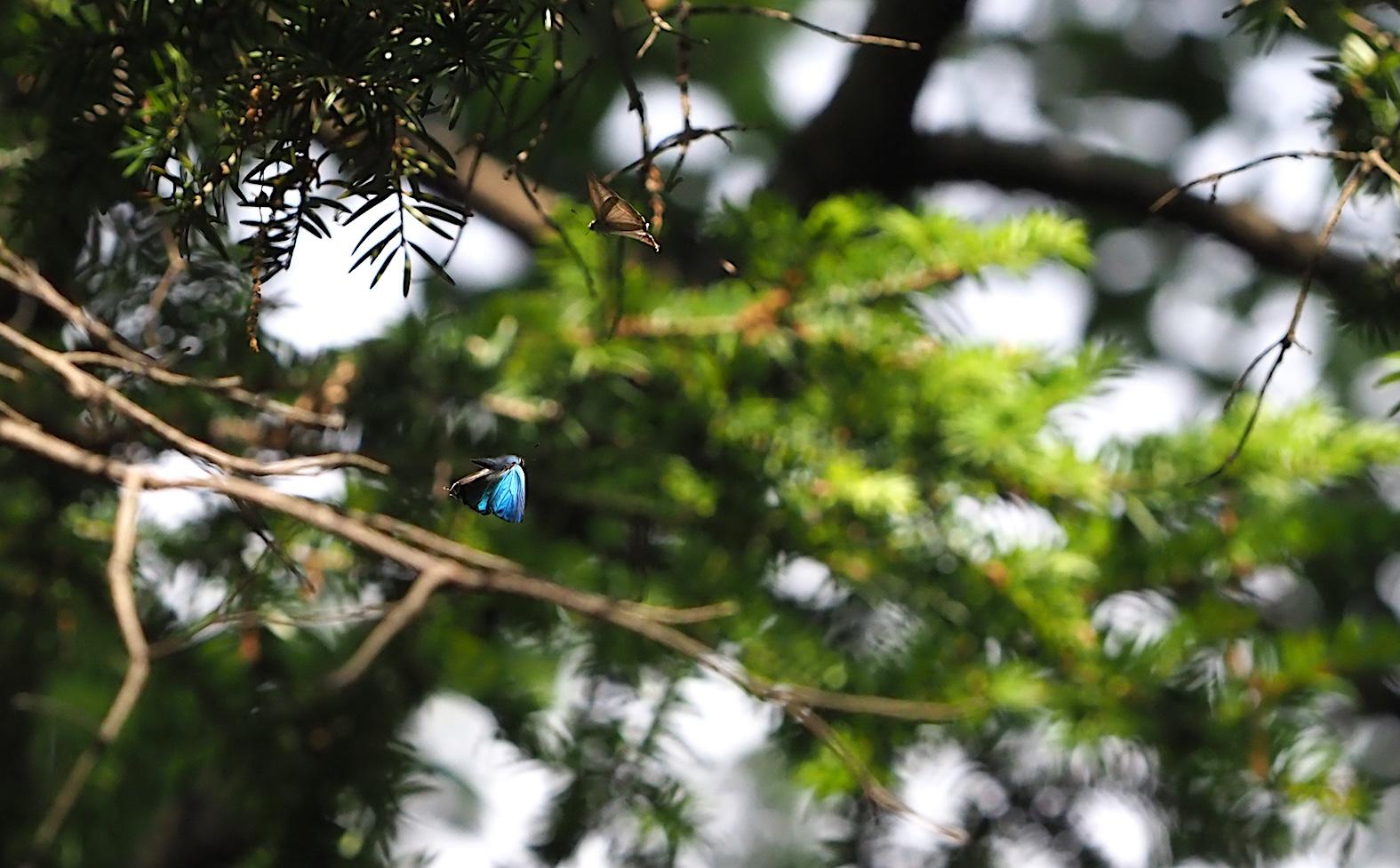 オオミドリシジミ三昧の日・その3 卍巴飛翔編(2018年6月7日)_d0303129_4284965.jpg