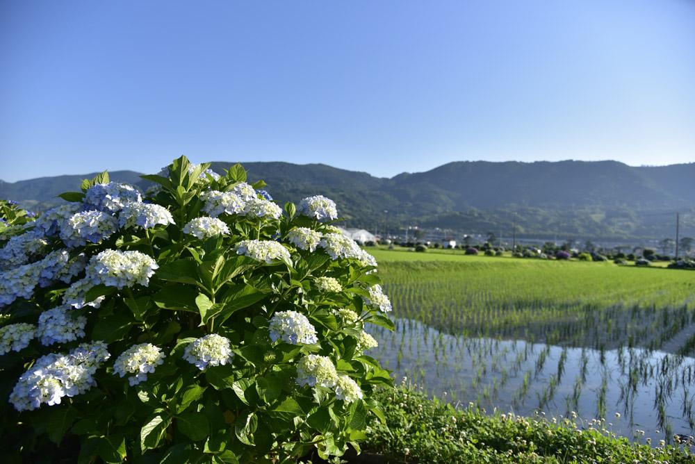 神奈川県・開成町の紫陽花祭(改訂版)_e0367330_21485748.jpg