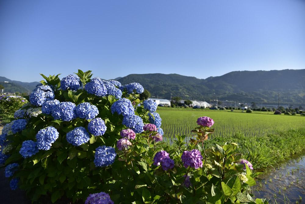 神奈川県・開成町の紫陽花祭(改訂版)_e0367330_21491722.jpg