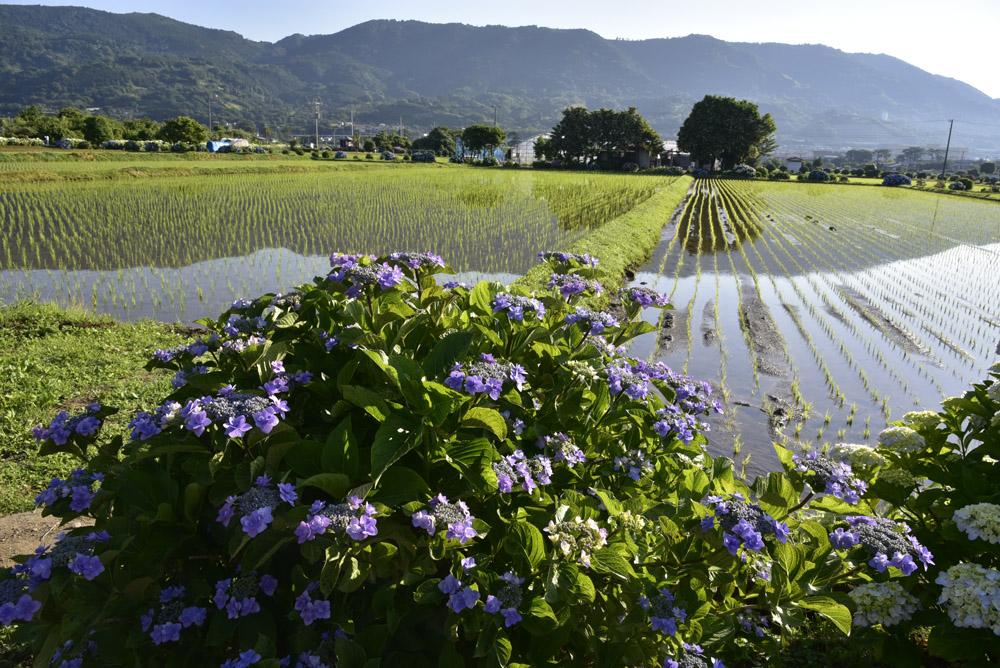 神奈川県・開成町の紫陽花祭(改訂版)_e0367330_21494586.jpg