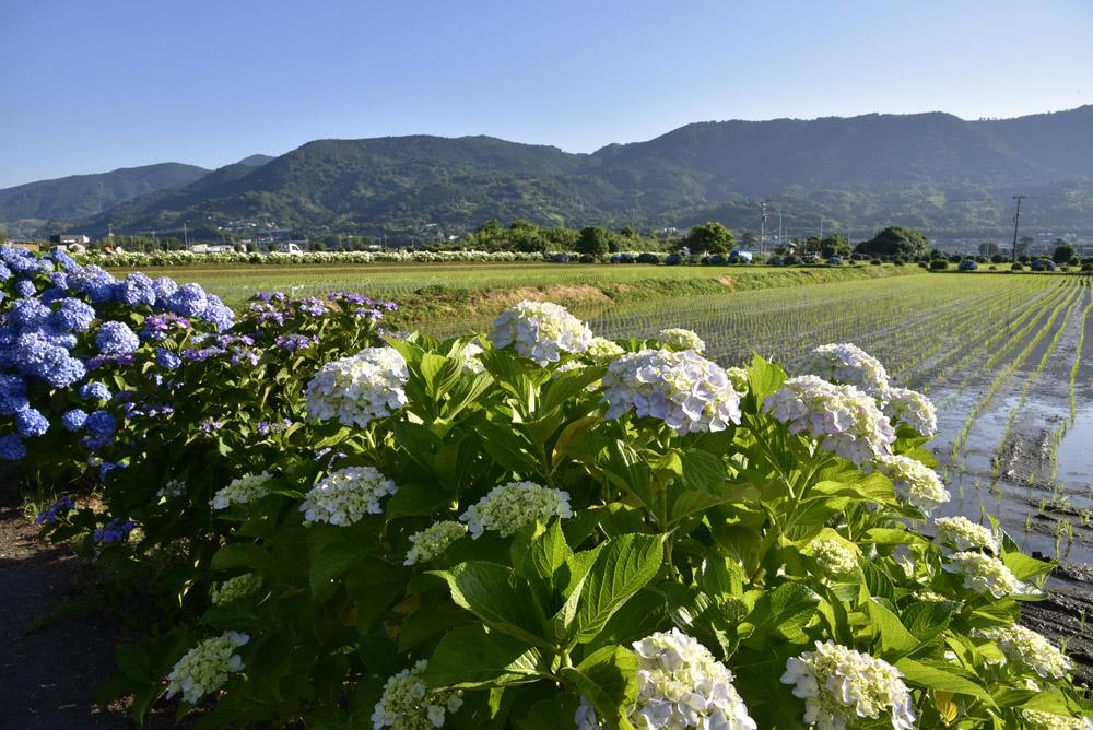 神奈川県・開成町の紫陽花祭(改訂版)_e0367330_21502870.jpg