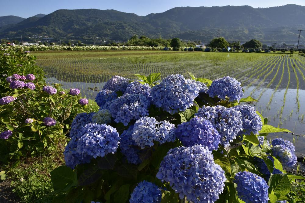 神奈川県・開成町の紫陽花祭(改訂版)_e0367330_21504539.jpg