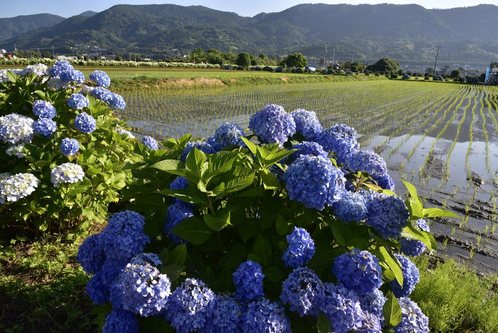 神奈川県・開成町の紫陽花祭(改訂版)_e0367330_215082.jpg