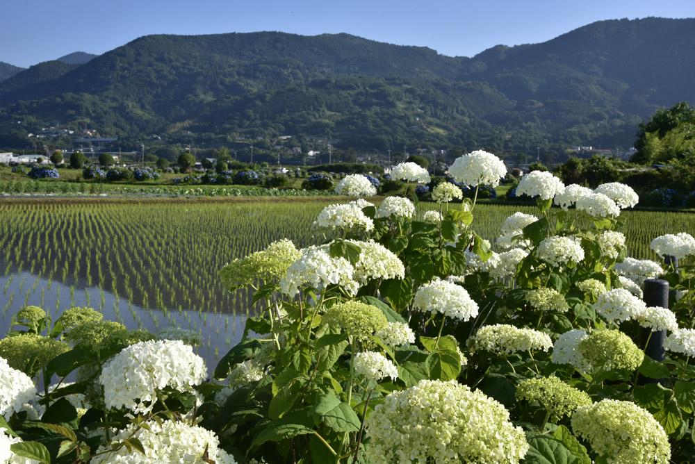 神奈川県・開成町の紫陽花祭(改訂版)_e0367330_21521423.jpg