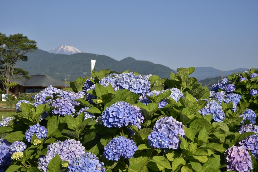 神奈川県・開成町の紫陽花祭(改訂版)_e0367330_21535350.jpg