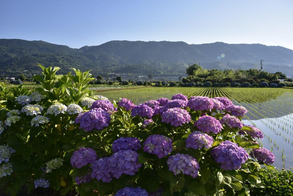 神奈川県・開成町の紫陽花祭(改訂版)_e0367330_21544887.jpg