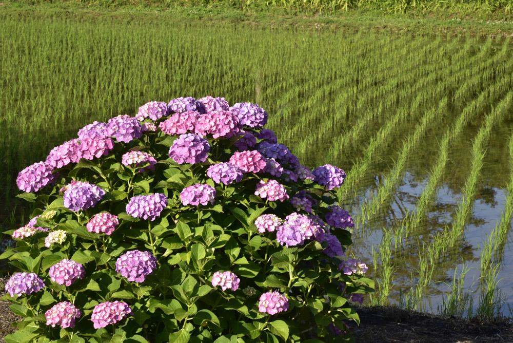 神奈川県・開成町の紫陽花祭(改訂版)_e0367330_21552734.jpg