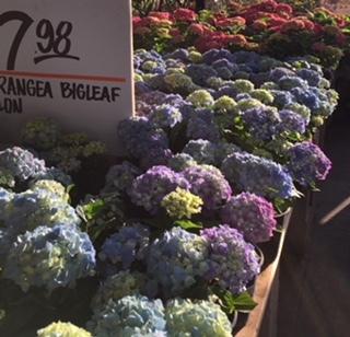 紫陽花の季節_e0350971_11335024.jpg