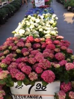 紫陽花の季節_e0350971_11335322.jpg
