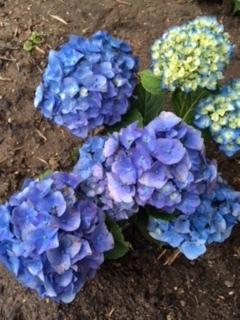 紫陽花の季節_e0350971_11340283.jpg