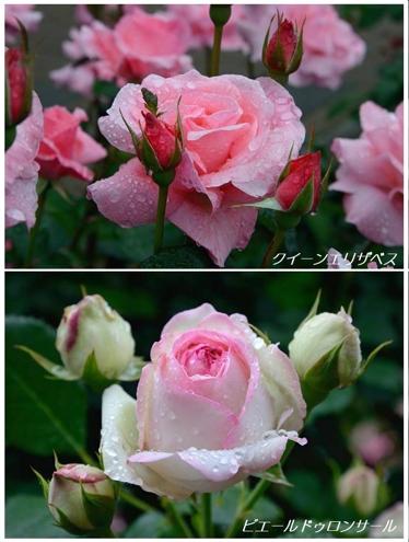雨上がりのバラたち_a0204089_5525910.jpg