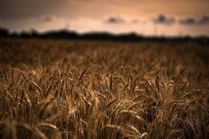 Uneasy Wheat Field_d0353489_17144240.jpg