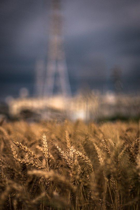 Uneasy Wheat Field_d0353489_17151226.jpg