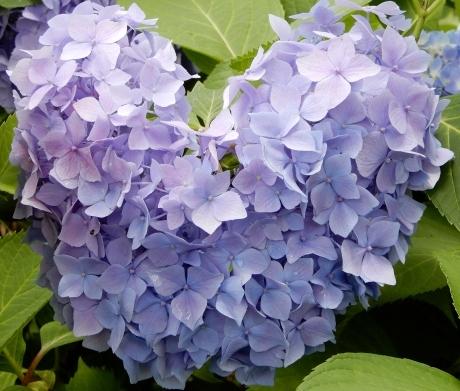 恋する紫陽花 * HIER * hydrangea d\' amour_a0332314_10080435.jpg