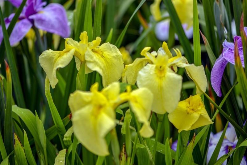 かわつ花菖蒲園 2018 多種多様な花々の魅力_d0246136_14503213.jpg