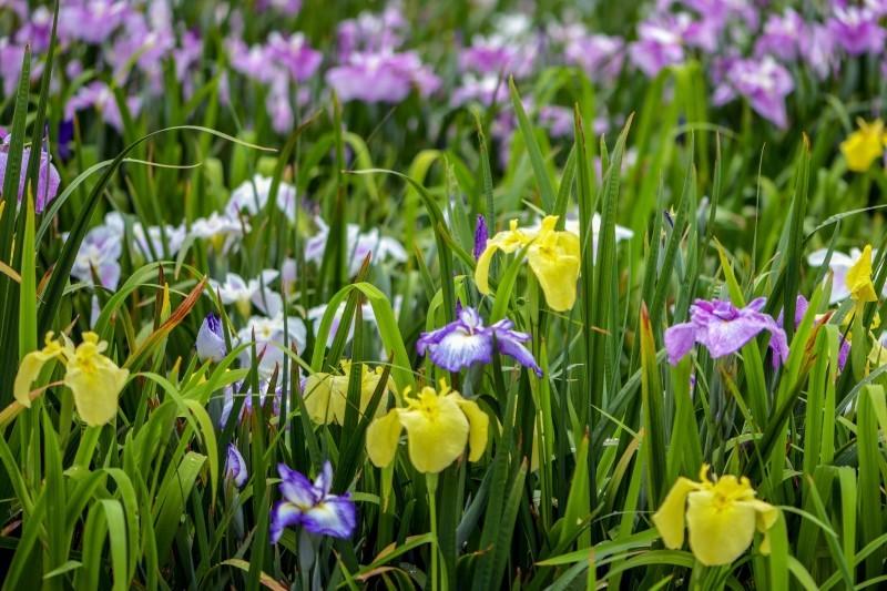 かわつ花菖蒲園 2018 多種多様な花々の魅力_d0246136_14504624.jpg