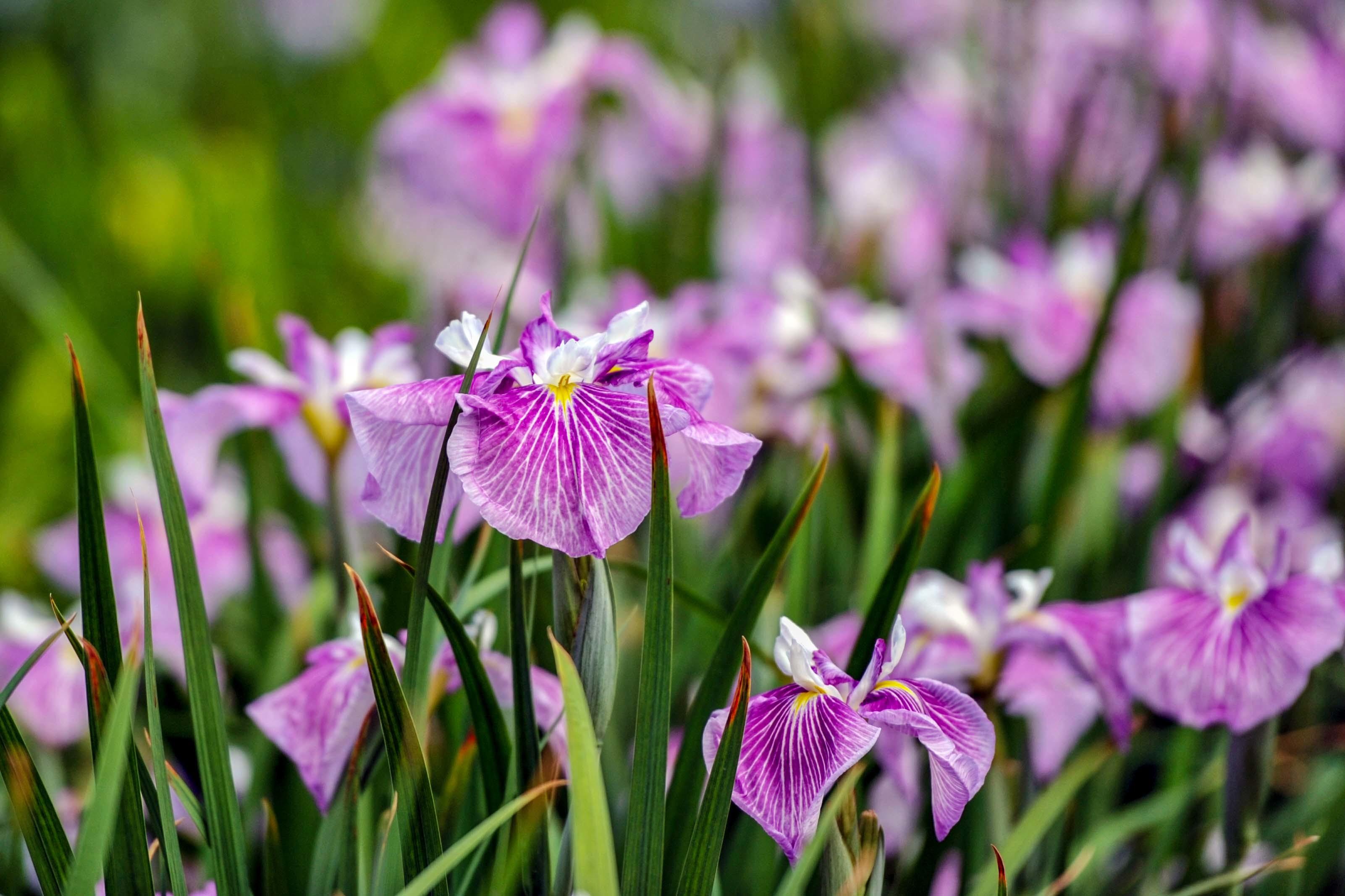 かわつ花菖蒲園 2018 多種多様な花々の魅力_d0246136_14505268.jpg