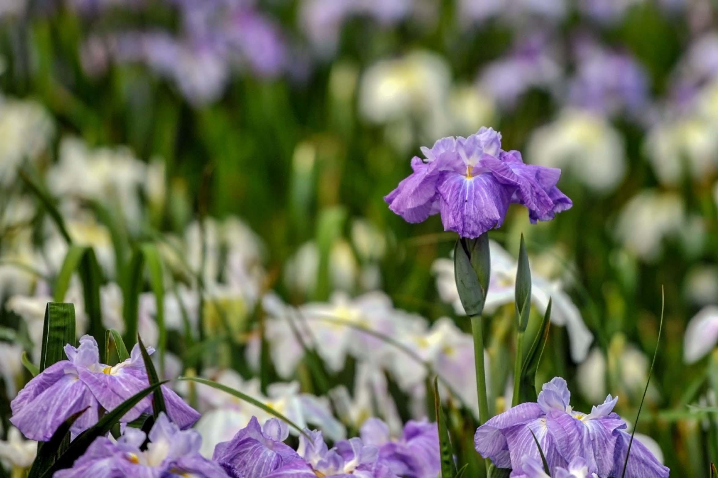 かわつ花菖蒲園 2018 多種多様な花々の魅力_d0246136_14505843.jpg