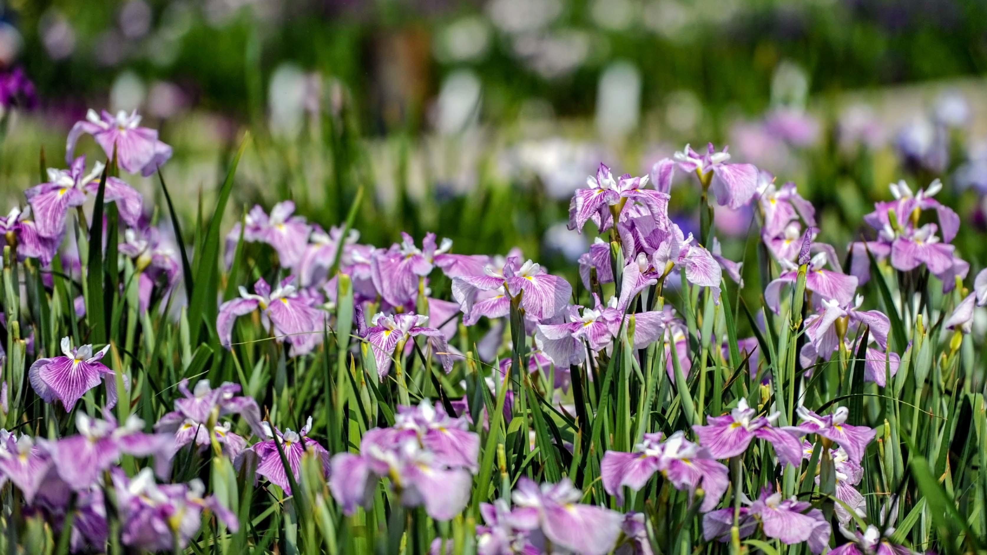 かわつ花菖蒲園 2018 多種多様な花々の魅力_d0246136_14510349.jpg