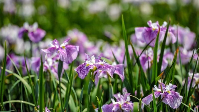 かわつ花菖蒲園 2018 多種多様な花々の魅力_d0246136_14510996.jpg