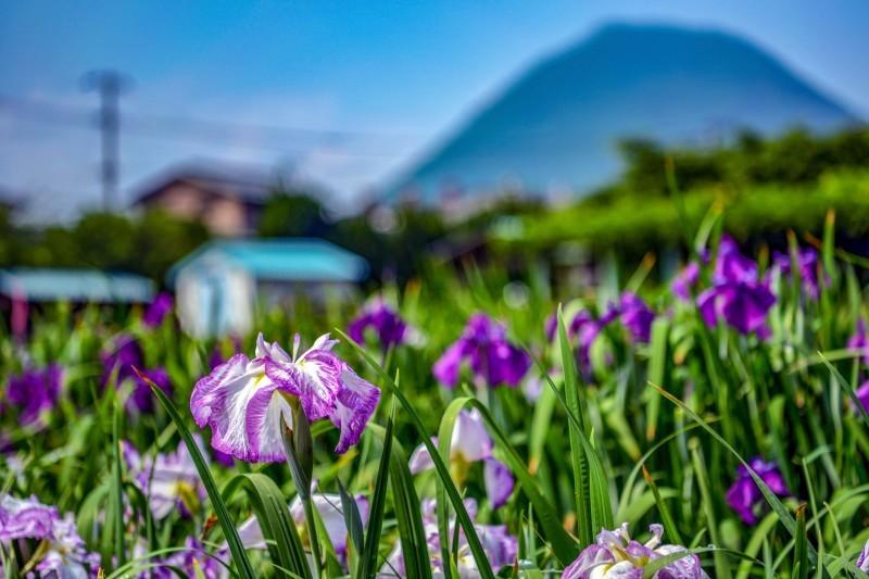 かわつ花菖蒲園 2018 多種多様な花々の魅力_d0246136_14512718.jpg