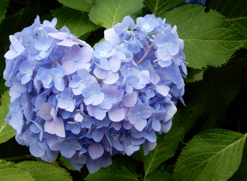 恋する紫陽花 * HIER * hydrangea d\' amour_f0374041_16073175.jpg