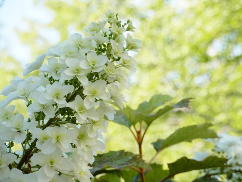 恋する紫陽花 * HIER * hydrangea d\' amour_f0374041_16084626.jpg