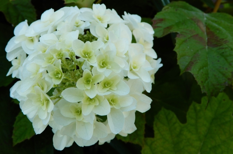 恋する紫陽花 * HIER * hydrangea d\' amour_f0374041_17573132.jpg