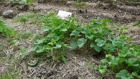 地這い胡瓜とつるありインゲン初収穫6・10_c0014967_17385644.jpg