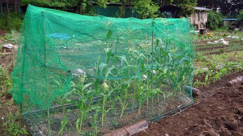 地這い胡瓜とつるありインゲン初収穫6・10_c0014967_17392333.jpg