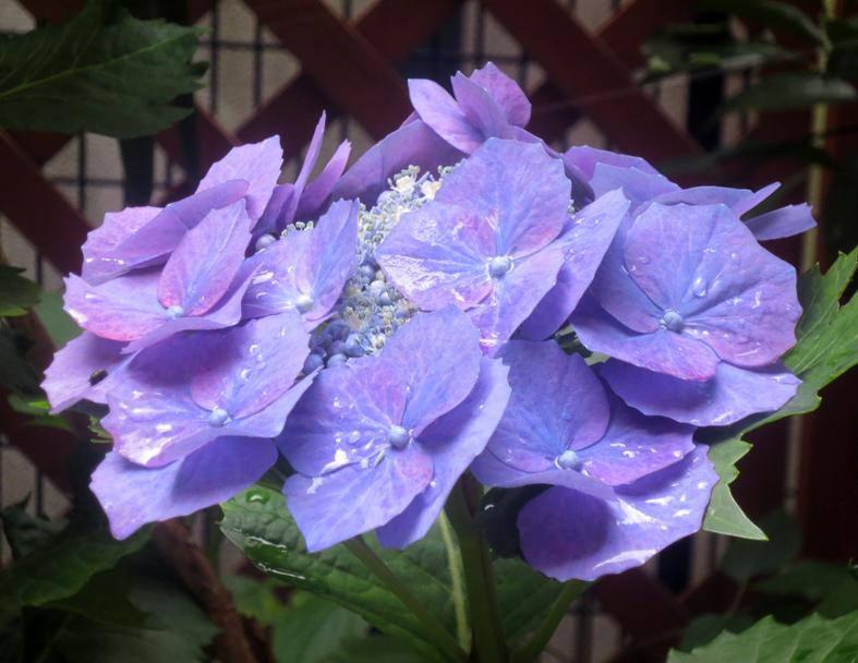 ■ウチの紫陽花・ヨソの紫陽花、そして森山安英氏・まだ先輩が存在していることの嬉しさ──週替わりの夕暮れ[6/1-3]_d0190217_22310881.jpg