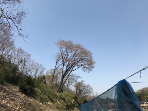 ヤマザクラが咲き始めました!_f0331126_18400311.jpg