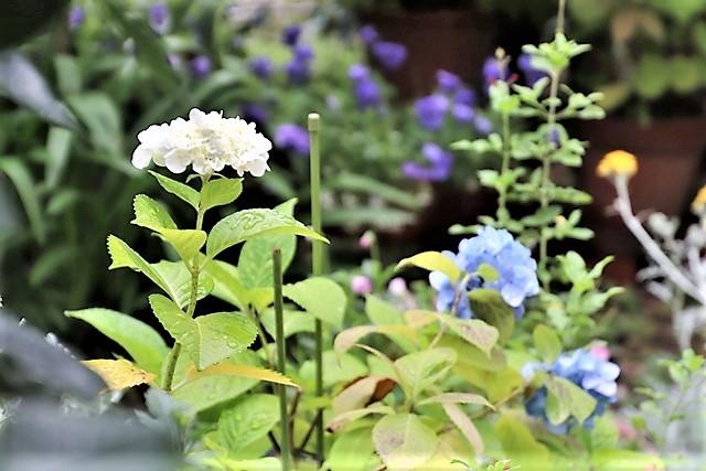 藤田八束の鉄道写真@梅雨に咲く美しい花アジサイに魅せられて・・・貨物列車ワニと沿線に咲く紫陽花_d0181492_18061225.jpg