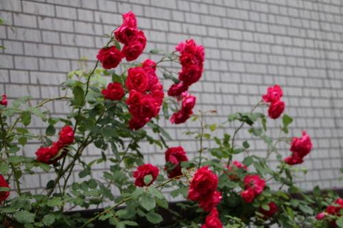 雨上がりの朝の散歩は、TSUTAYAへ_c0075701_06403019.jpg