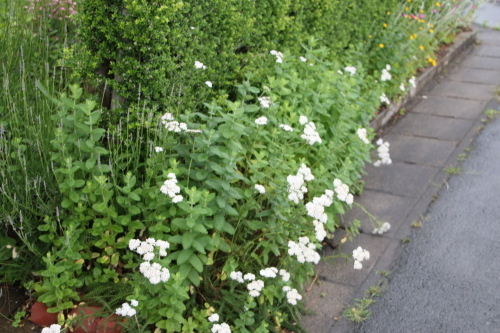 雨上がりの朝の散歩は、TSUTAYAへ_c0075701_06404023.jpg