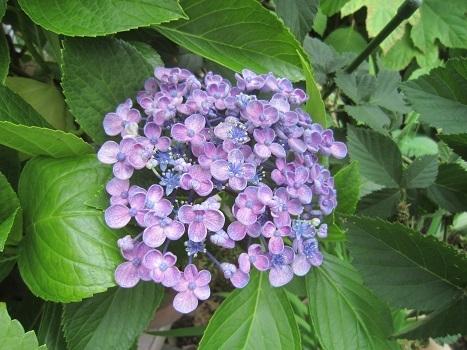 梅雨の紫陽花_b0177436_22280734.jpg