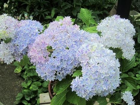 梅雨の紫陽花_b0177436_22501957.jpg