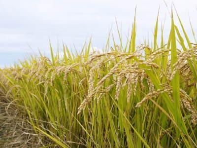 無農薬栽培のひのひかり100%使用の『米粉』大好評販売中!平成30年度の米作り!苗床の様子を現地取材!_a0254656_17093605.jpg